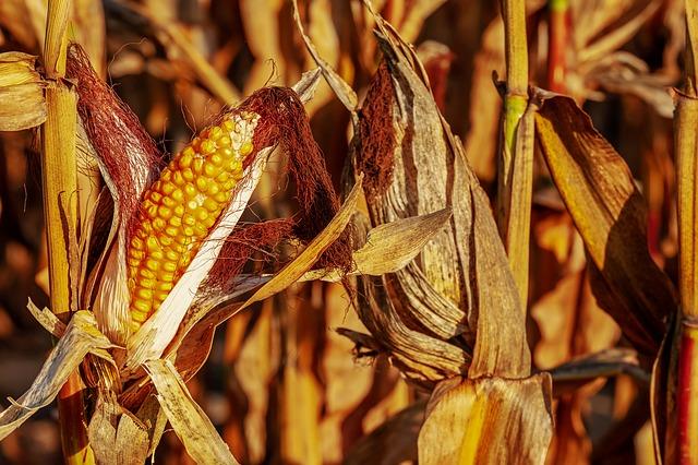 Na twoich polach kukurydzy pojawiły się chwasty?