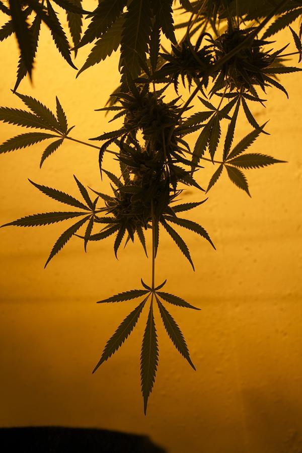 Jak hodować marihuanę w warunkach domowych?